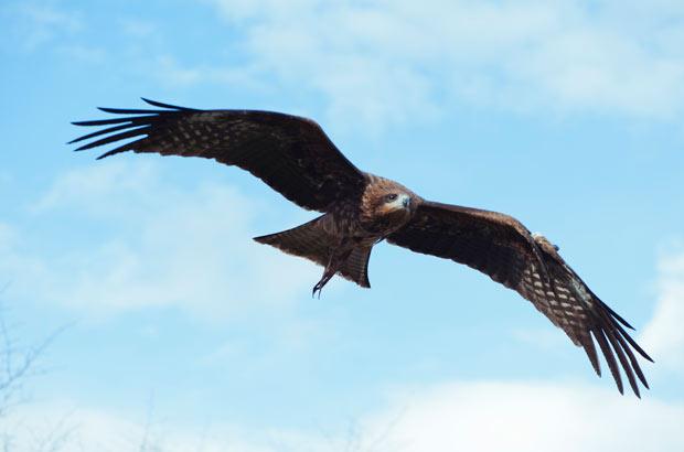 羽を大きく広げて飛ぶデューク