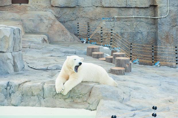 寝そべる白クマ