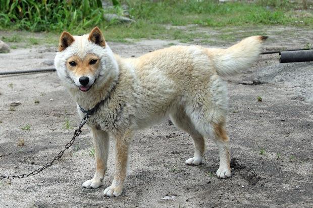 珍しい犬山陰柴犬
