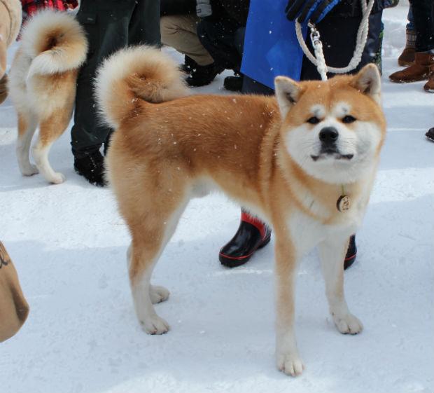 「秋田犬 マサル」の話題・最新情報 BIGLOBE …