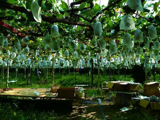 ミシマファームでのぶどう栽培の様子