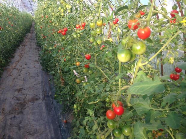 夏は昼間の時間が長いので何回も収穫ができます。