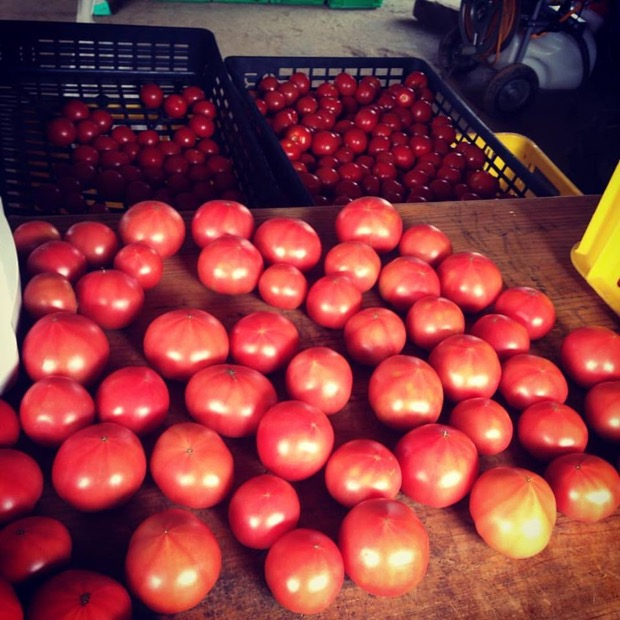 7月から10月くらいにかけ、たくさんの中玉から大玉のトマトを収穫します。