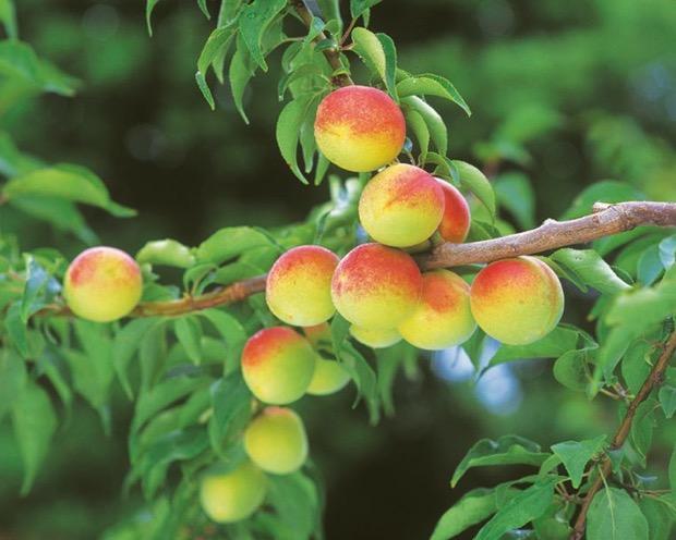 和歌山県産の特別栽培南高梅
