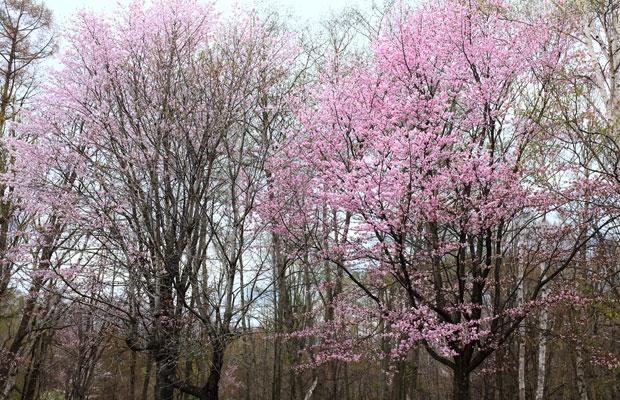 北海道でよく見かけるのは山桜。花が開いたかと思うとあっという間に散ってしまう。北国の春は駆け足に過ぎていく。