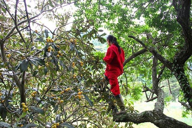 梅とビワの収穫の様子。