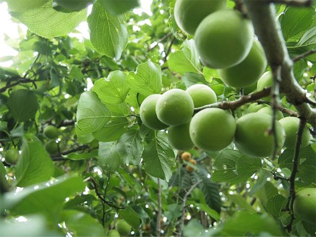 毎年販売している無農薬・無肥料のたくましい梅。