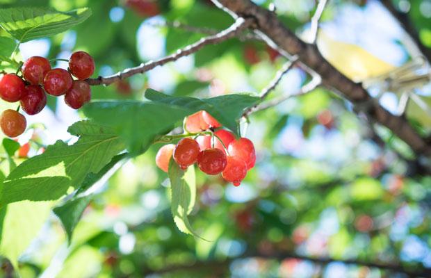 毎年この時期に小さな赤い実がたくさんなります。甘酸っぱくておいしい。
