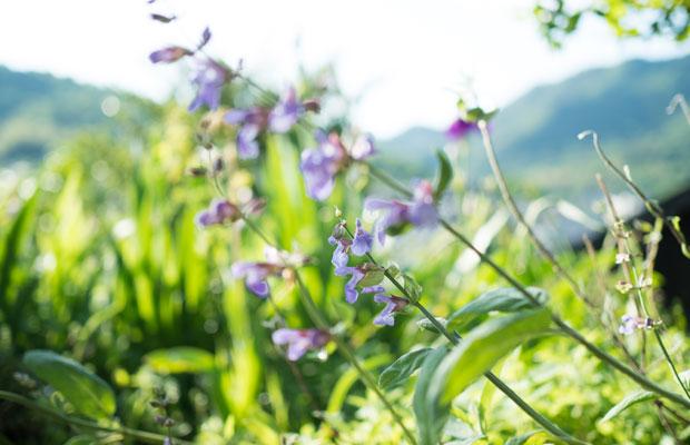 枯れてしまったかなと思っていたセージが、今年は花を咲かせました。