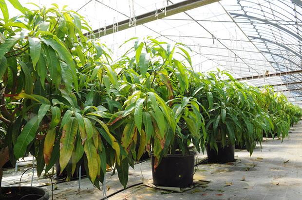 マンゴーの木がずらり。現在は500本ほど栽培しているそう。
