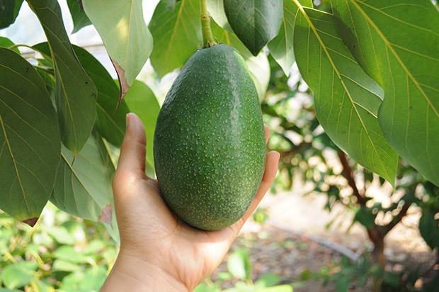 「収穫は3か月後だから、まだまだ大きくなるよ」と安藤さん。でも、この段階でも20センチ近い大きさ!