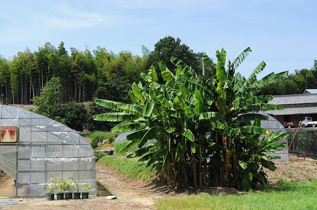手前にはバナナの木。安藤さんの農園には珍しい果樹がたくさん。