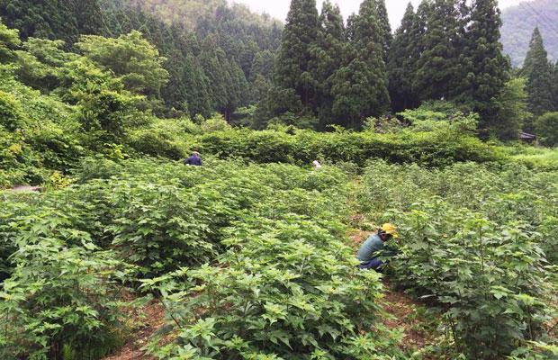 五箇山和紙の里が保有する楮の畑。(写真提供:五箇山和紙の里)