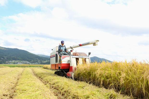 同社のもち菓子の原材料のもち米を栽培する、平泉の契約農家の稲刈り風景。