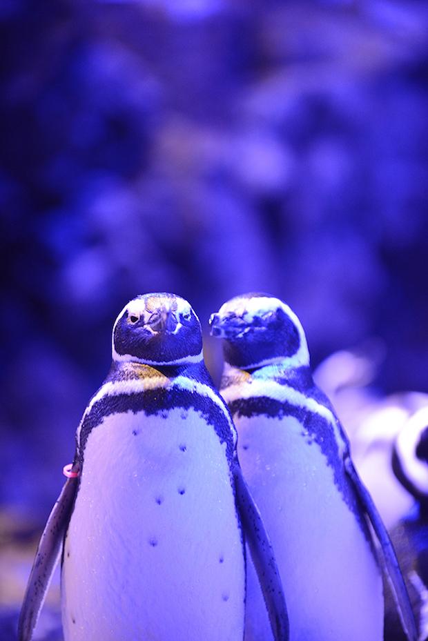 ペンギンカップルの「アケビ」と「フジ」。