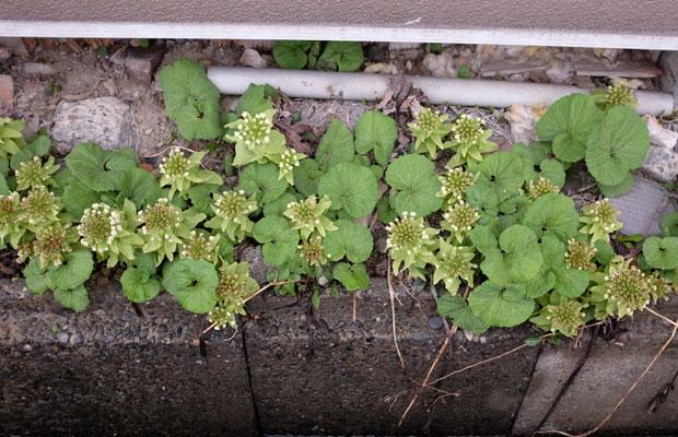 4月中旬。星型の花が伸びていくと、脇からハート形の葉っぱが現れる。