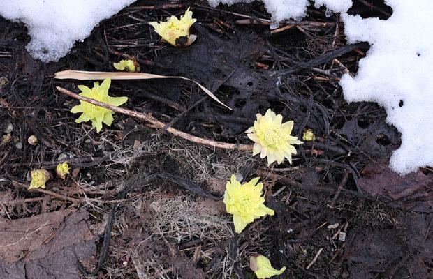 雪の下から顔をのぞかせるふきのとう。写真は4月初旬。まだほとんどの地面は雪におおわれている時期。