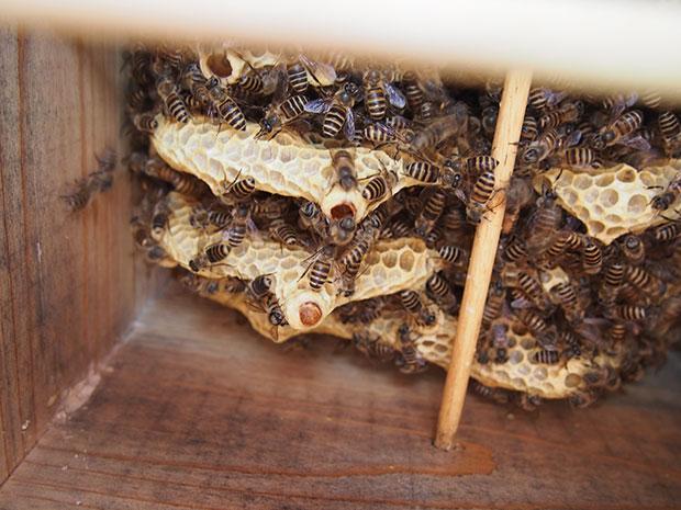 茶色い蓋をされているのが、女王蜂が生まれる場所。