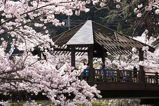 子どもみこしを迎える桜の〈きらきら橋〉。