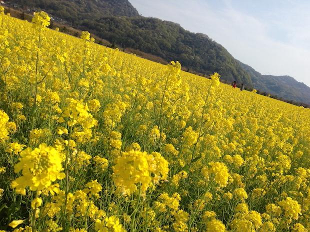 春は一面の菜の花畑。春夏秋冬の花々が咲きほこる笠岡の野原にて。
