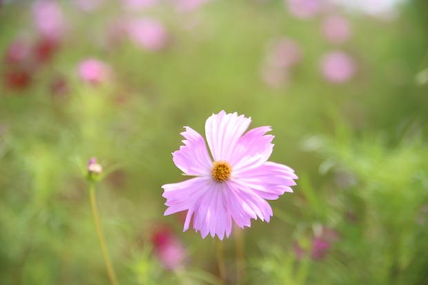 秋の花といえばコスモス。