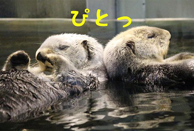 〈須磨海浜水族園〉の仲良し熟年カップル、ラッコのラッキー&明日花