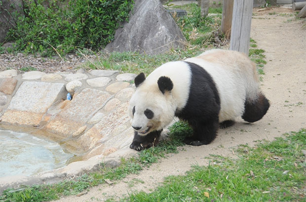 のんびりおひとりさまを満喫中の短足パンダ、タンタンが23歳に! 神戸のユニーク動物たちもお祝い?? コロカルニュース