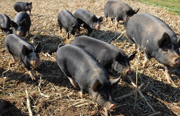 福永さんの農場〈ファームブレッスドウィンド〉では、豚がのびのびとかけまわっていた。福永さんを見つけると鼻を動かしながら群れをなして寄ってくる。