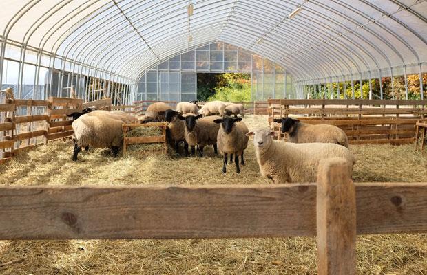 大口さんはサフォークを中心に30頭ほどを飼育している。「肉をおいしくしようというよりも、羊が喜ぶ環境かどうかが大事」