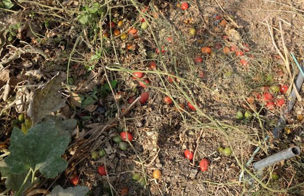 晩秋の畑。トマトを地面に落としたままにしてある。ここから来年芽が出て、育っていくのだそう。