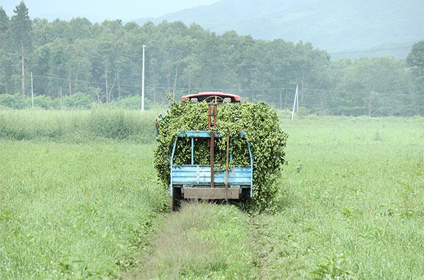 ホップの収穫もほかの農作物と変わらないのどかな風景。(写真提供:キリン株式会社)