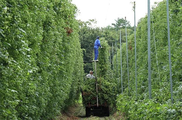 グリーンカーテンは高さ5メートルにも及ぶ。(写真提供:キリン株式会社)