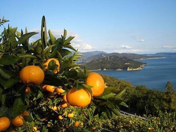 瀬戸内海で育つ柿