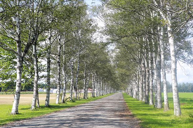 """帯広から郊外に車で向かうと、次々に広大な農場や牧草地が現れます。その境界線を縁取るようなカラマツや白樺の並木は、防風林として開拓初期に植えられたもの。人の営みと自然が調和した美しい景観は、見飽きることがありません。帯広の隣町・音更(おとふけ)町にある十勝牧場・白樺並木は、十勝を象徴する全長1.3キロのビューポイント。数々のドラマや映画のロケ地に使われ、馬や羊の放牧風景が見られる展望台も。""""とかち晴れ""""と呼ばれるほど、晴天の日が多い帯広・十勝地方は、雄大な大平原という北海道らしさが存分に楽しめるエリアです。"""