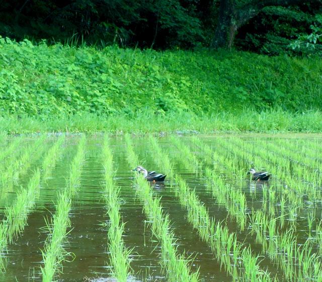 田植え10日後の田んぼ。田んぼに鴨が遊びに来ていました