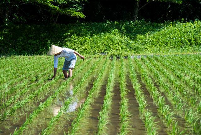 田車で取りきれない稲の株まわりは手で抜く