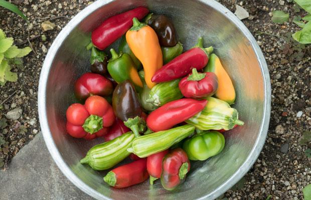 秋になっても収穫が続いているピーマン。完熟して赤く色づきます。