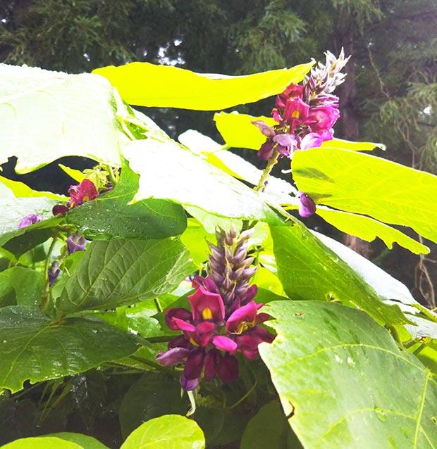 葛の花。花を摘み、湯にくぐらせて甘酢につければ、色鮮やかな葛花の酢漬けになる。