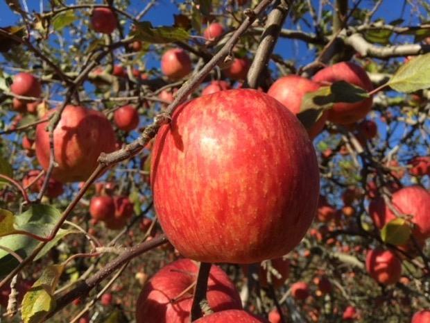 林檎園うえはらのりんご
