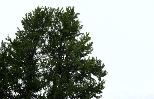 開校の地にそびえ立つイチョウの木。