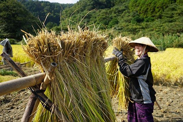 """竹を組んだ""""はざ""""でお米を干す。"""