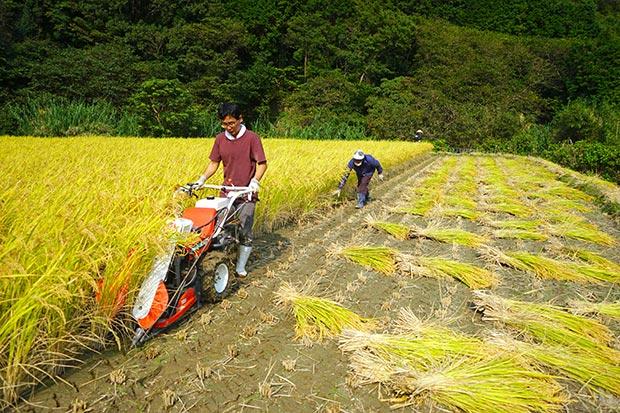 バインダーで稲を刈る。