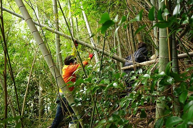 はざ用の竹を伐り出す