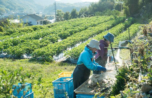 今年も生姜の収穫・加工作業で11月は大忙し。