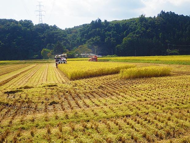 2018年のこがねもち収穫の風景。(写真提供:一関もちの里生産組合)