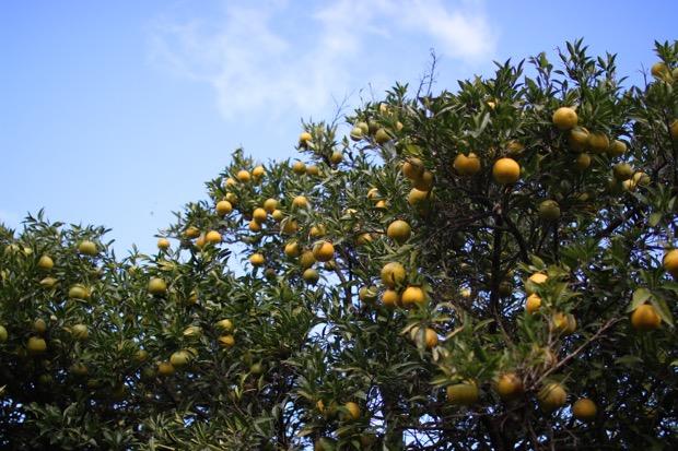 淡路島なるとオレンジ