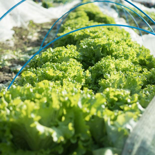 今年は暖かすぎて、葉物野菜が一気に育ってしまって、出荷調整が大変。それはうちも同じです。