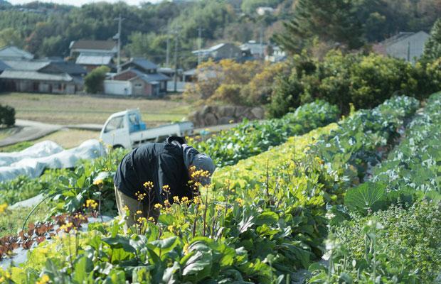 12月の畑は緑や紫の葉物野菜がわさわさしていてとても美しい。