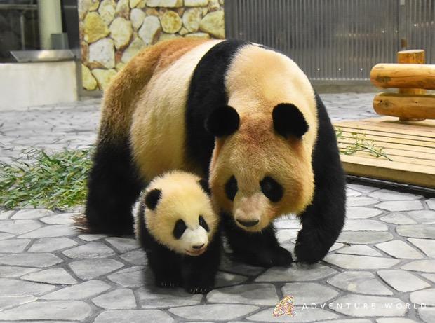 パンダ天国・和歌山でパンダの赤ちゃん「彩浜(さいひん)」に会える!