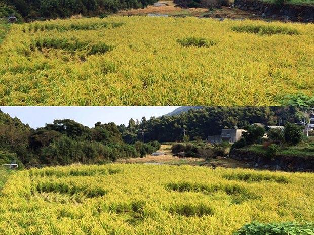 ミステリーサークルのように稲をなぎ倒すイノシシ。上下は同じ場所の写真です。